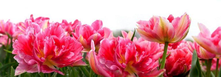 Фартук для кухни скинали тюльпаны махровые розовые.