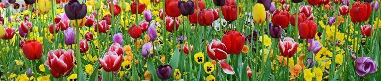 Фартук для кухни скинали поле с тюльпанами и анютиными глазками.