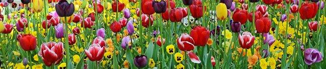 Каталог изображений для скинали поле с тюльпанами и анютиными глазками.