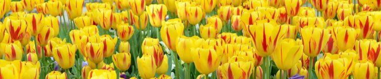 Фартук для кухни скинали желтые тюльпаны.