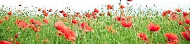 Каталог изображений для скинали полевые цветы маки.