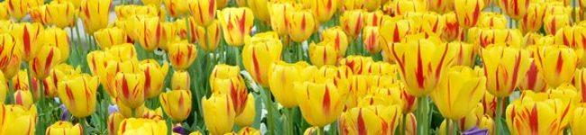 Каталог изображений для скинали желтые тюльпаны.