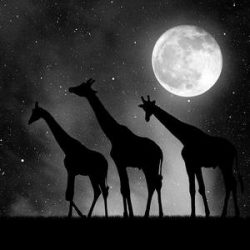 herd of giraffes in the night sky with moon