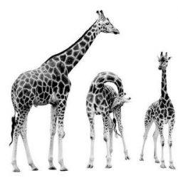 The giraffe (Giraffa camelopardalis).