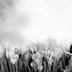 natur dream tulip